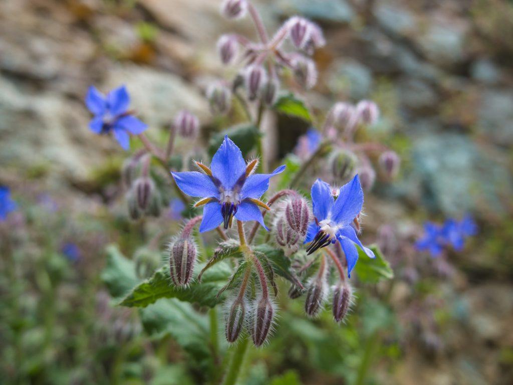 Borage flowers in garden