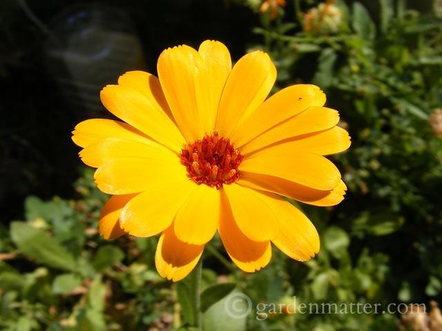 Pot Marigold - Calendula - annual herb ~ gardenmatter.com