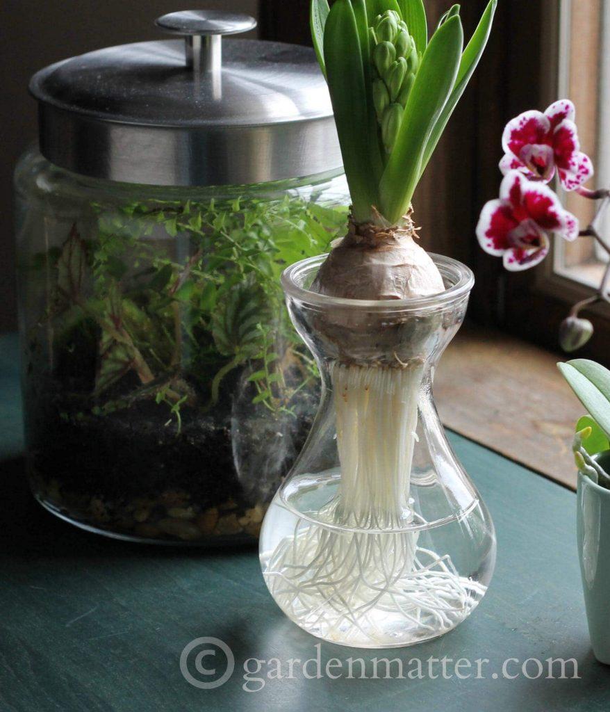 hyacinth vase - beauty & benefits of glass for indoor gardening ~ gardenmatter.com
