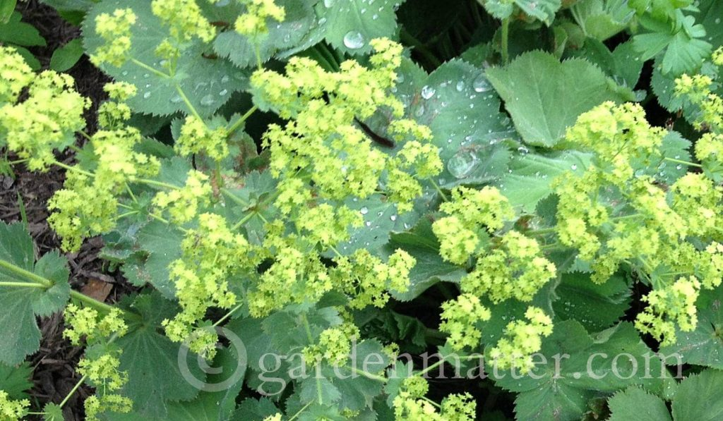 Lady's Mantle - Easy Perennial Herb to grow ~ gardenmatter.com