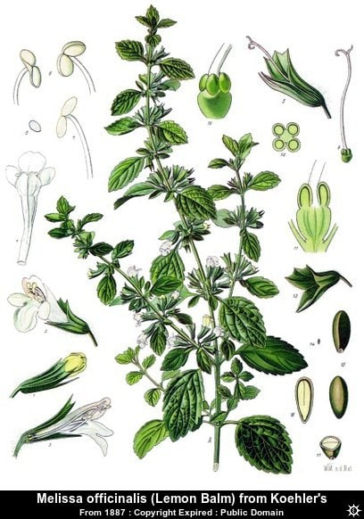 Lemon Balm Botanical Illustration
