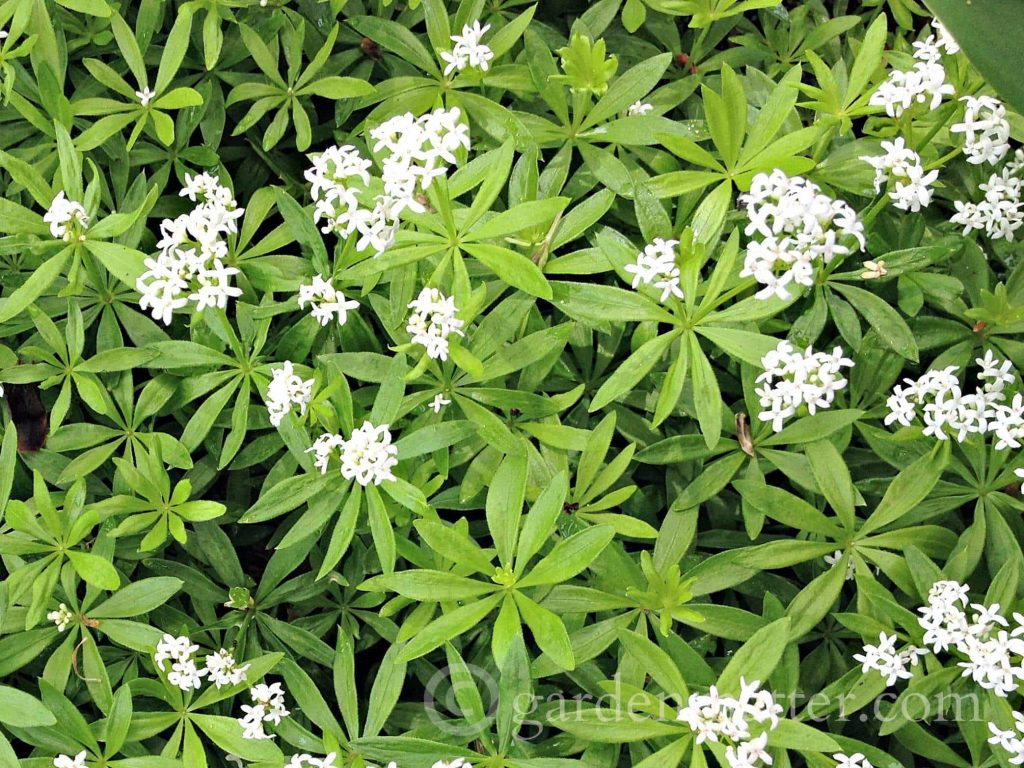Sweet-Woodruff - an easy perennial herb to grow ~ gardenmatter.com
