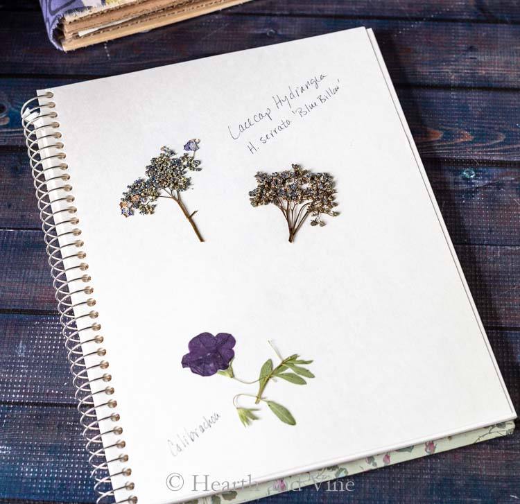 lacecap hydrangea flowers and calibrachoa in book
