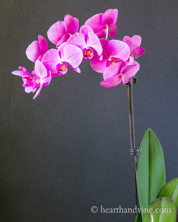 Repotting Orchids And Basic Care It S Easier Than You Think