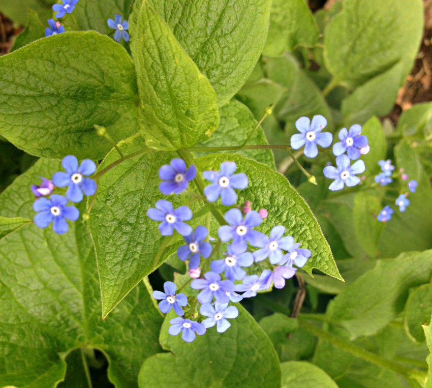 Brunnera flowers