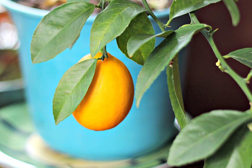 Meyer lemon on a dwarf tree