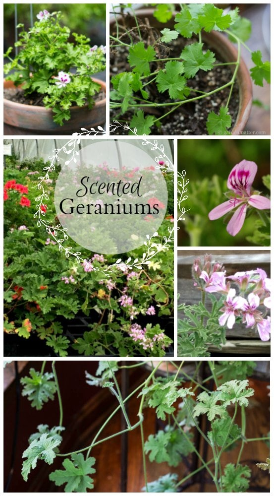 Learn about scented geraniums whose foliage is the star of the show. There are many different varieties and many grow well indoors during the winter.
