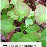 Epimedium leaves and text overlay