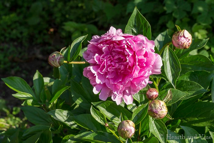 Old fashioned garden variety peony