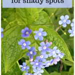 Brunnera in flower with text