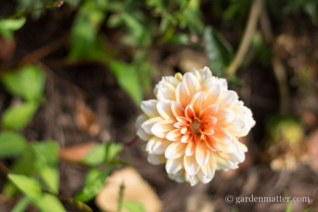 Apricot Dahlia ~ growing beautiful dahlias