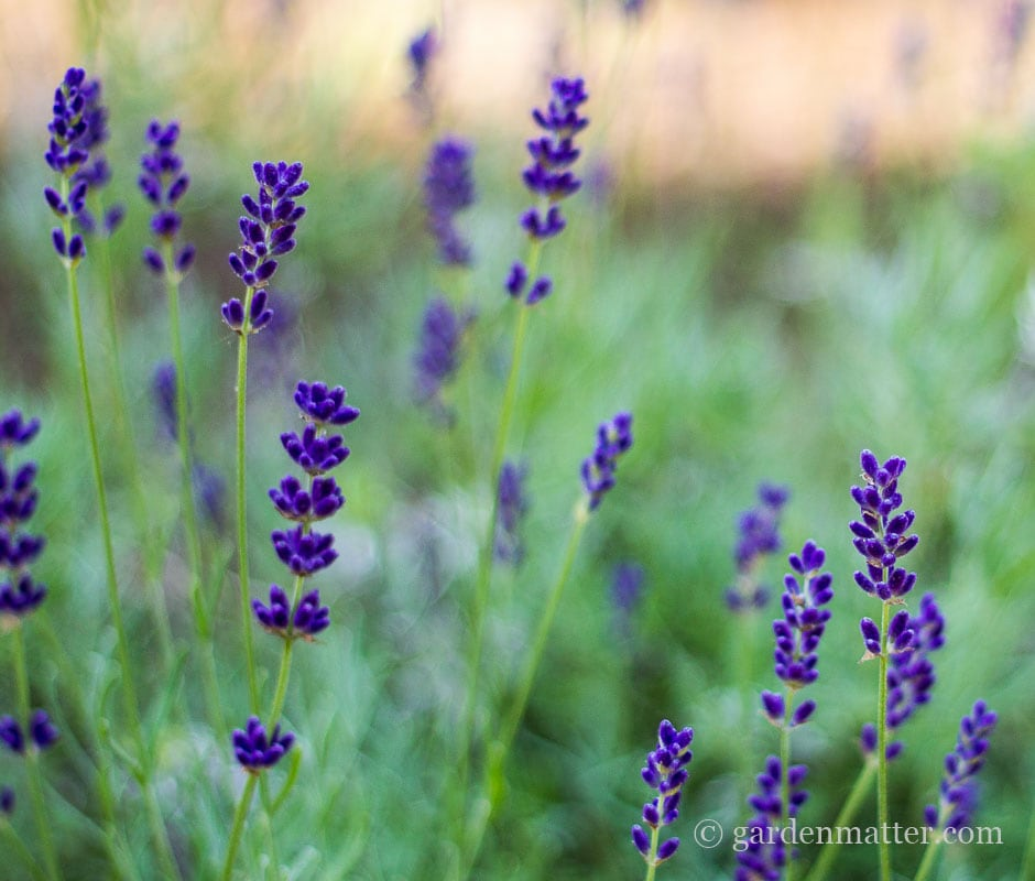 English Lavender Hidcote~ French vs English Lavender ~ gardenmatter.com