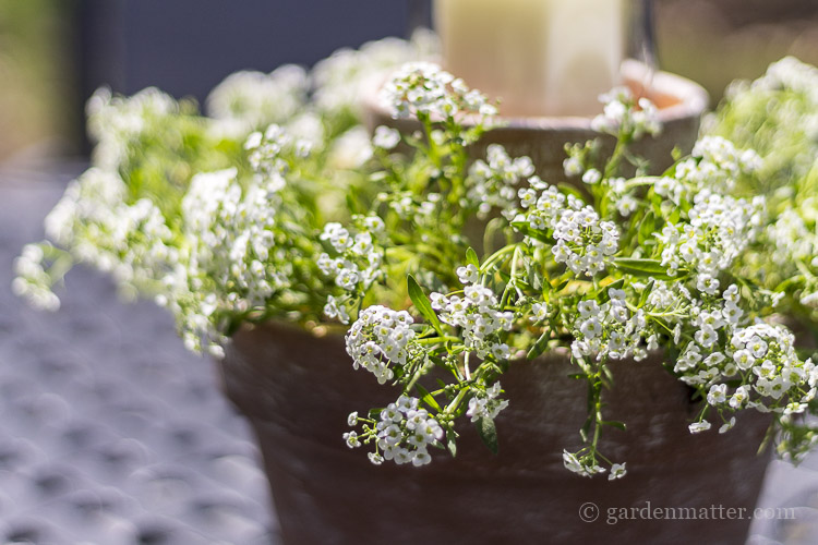 flower pot centerpiece wit sweet alyssum