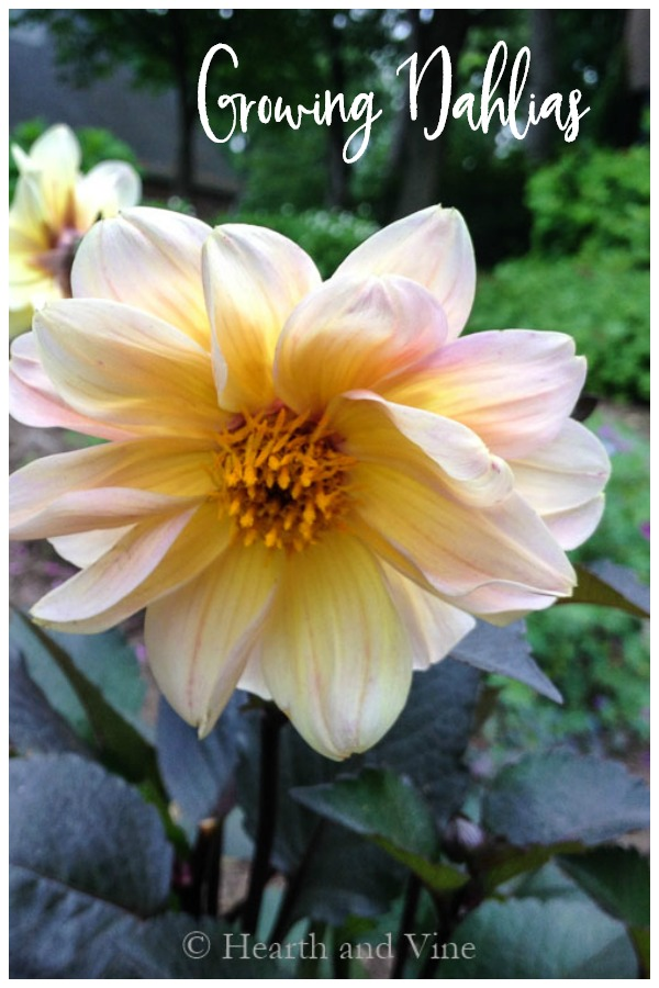 Peach dahlia with dark foliage - growing beautiful dahlias
