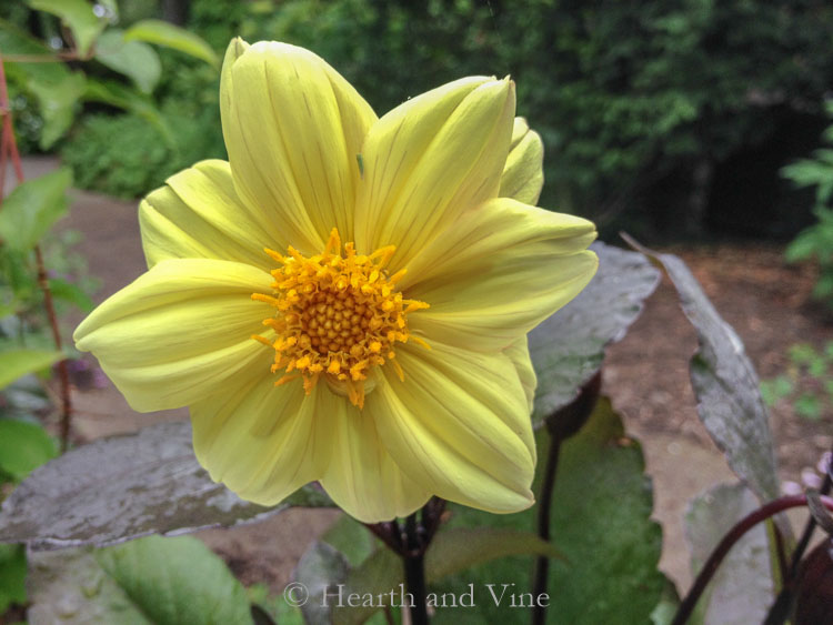 single petal yellow dahlia dark leaves