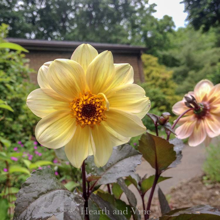 yellow dahlia with dark foliage - Growing Beautiful Dahlias
