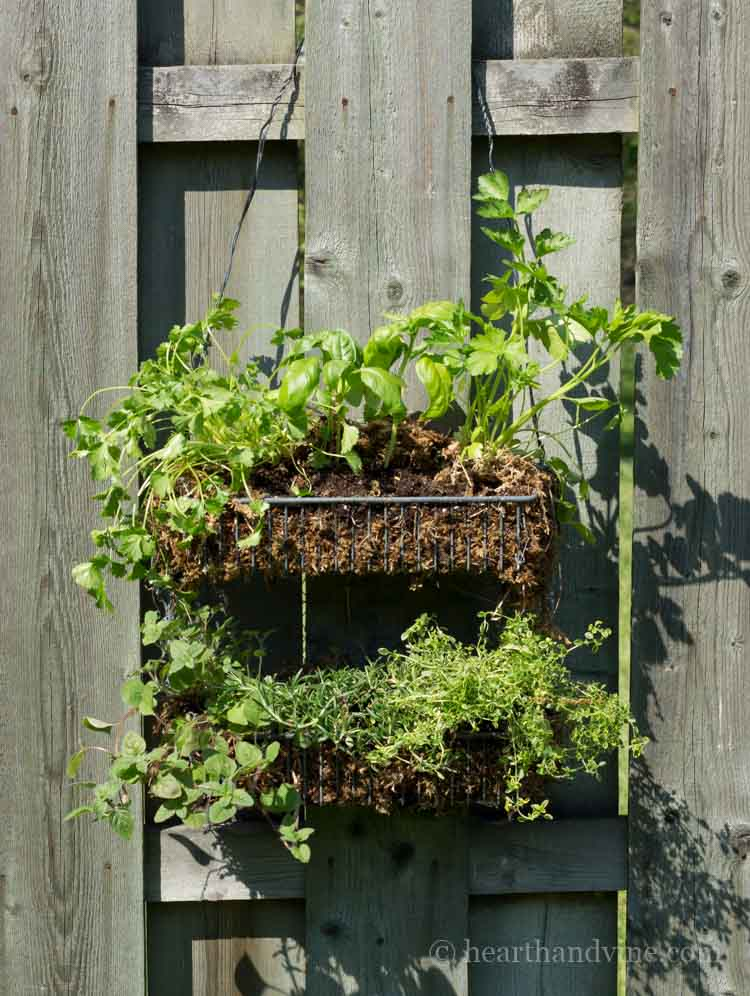 Hanging herb garden diy with sphagnum moss and wire shelf.