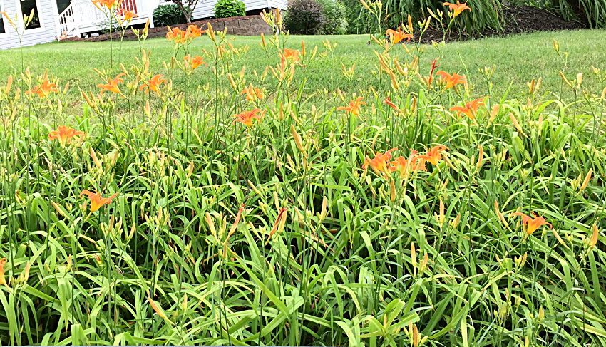 Wild orange growing daylilies