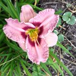 Pink daylily with ruffled edges