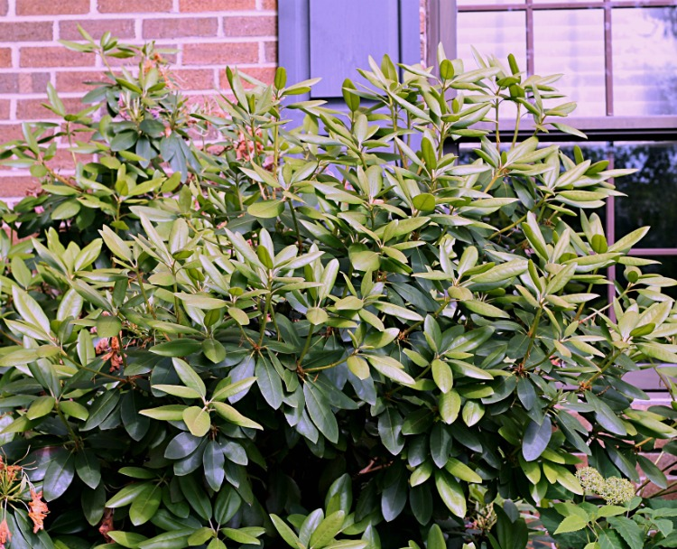 Rhododendron New Growth