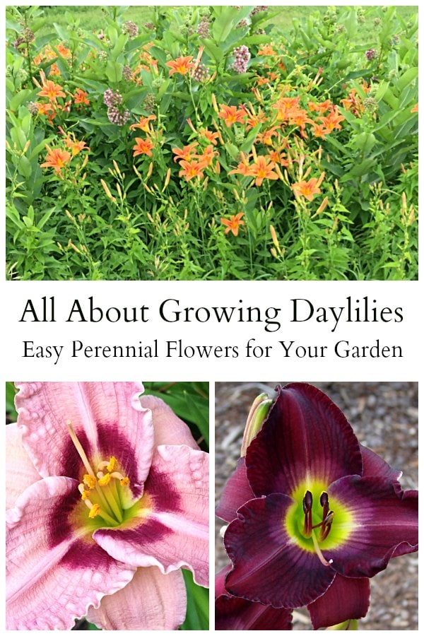 Growing daylilies is an easy task. They are a hardy, drought tolerant perennials that blooms all summer long, and comes in a variety of colors and styles.
