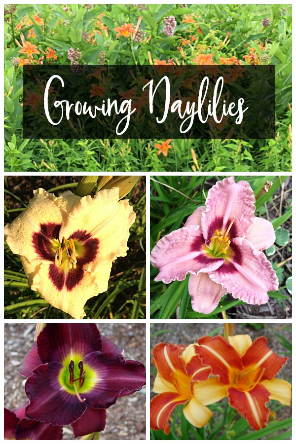 Collage about growing daylily flowers