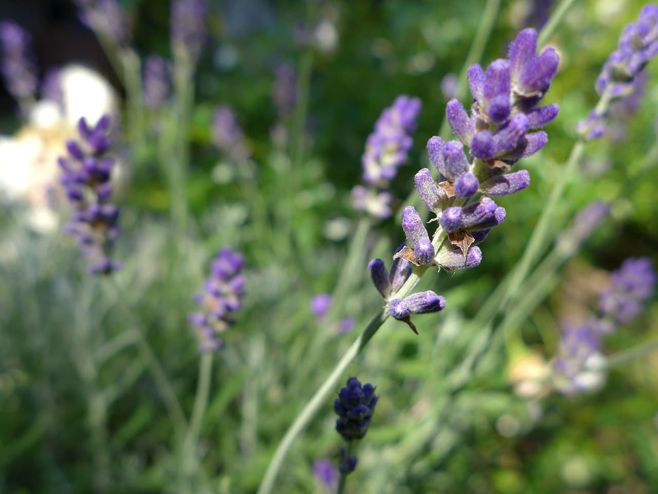 Munstead - A variety of lavender that is often used for cooking.