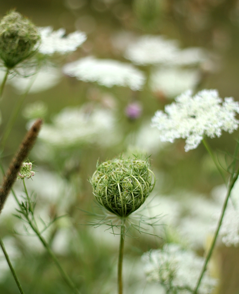 Queen Anne's Lace flower nest