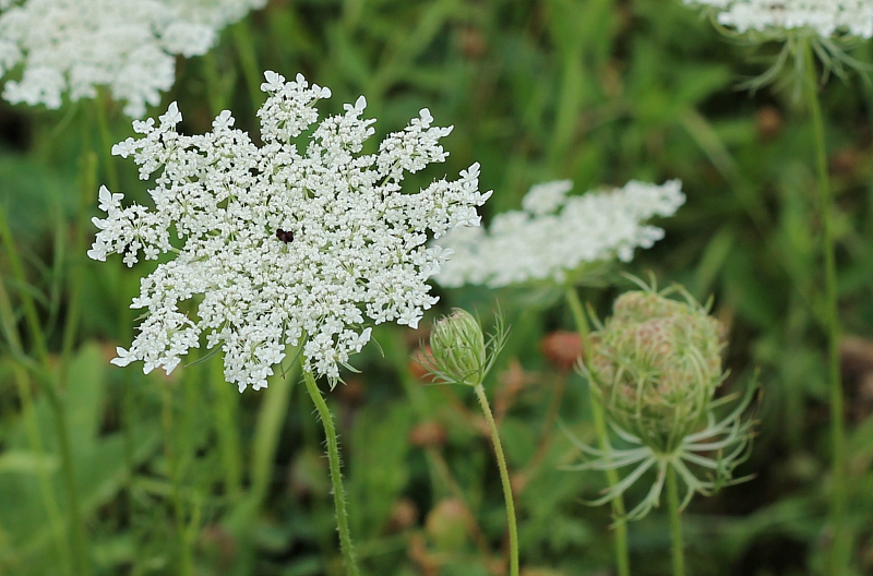 Queen Anne's Lace flower and bud