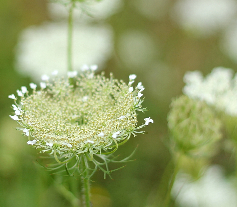 Queen Anne's lace starting to open