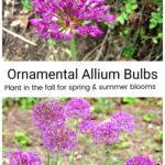 Purple sensation allium flowers.