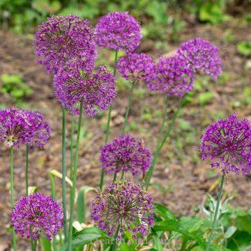 Ornamental alliums in bloom