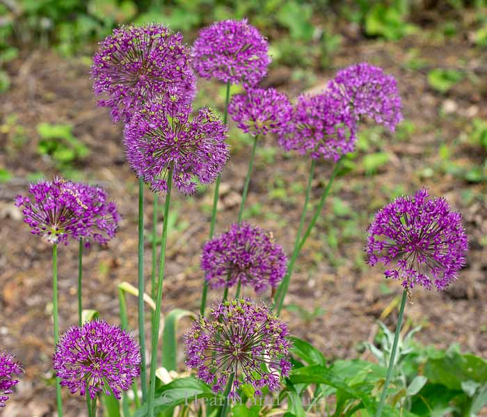 Ornamental alliums in bloom