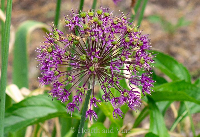 Allium sensation