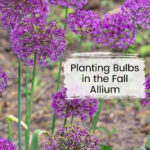 Purple ornamental allium in bloom.