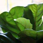 top of fiddle leaf fig tree