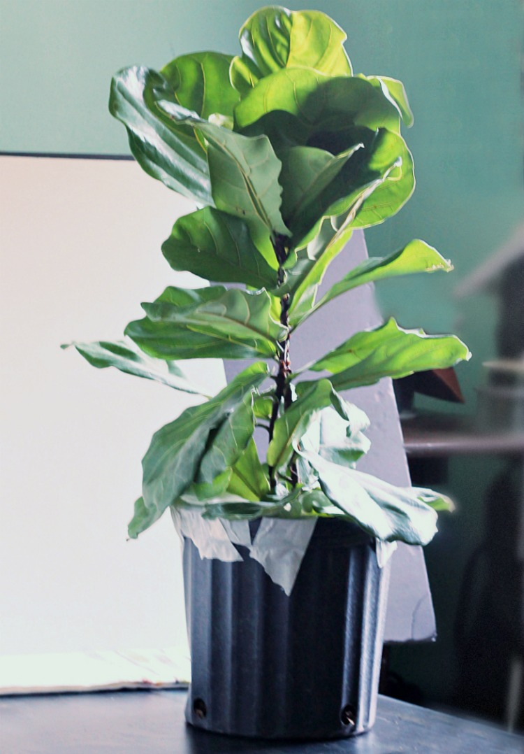 Fiddle Leaf Fig Tree from mail order