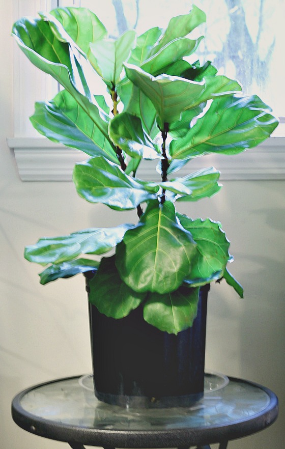 Fiddle Leaf Tree on table