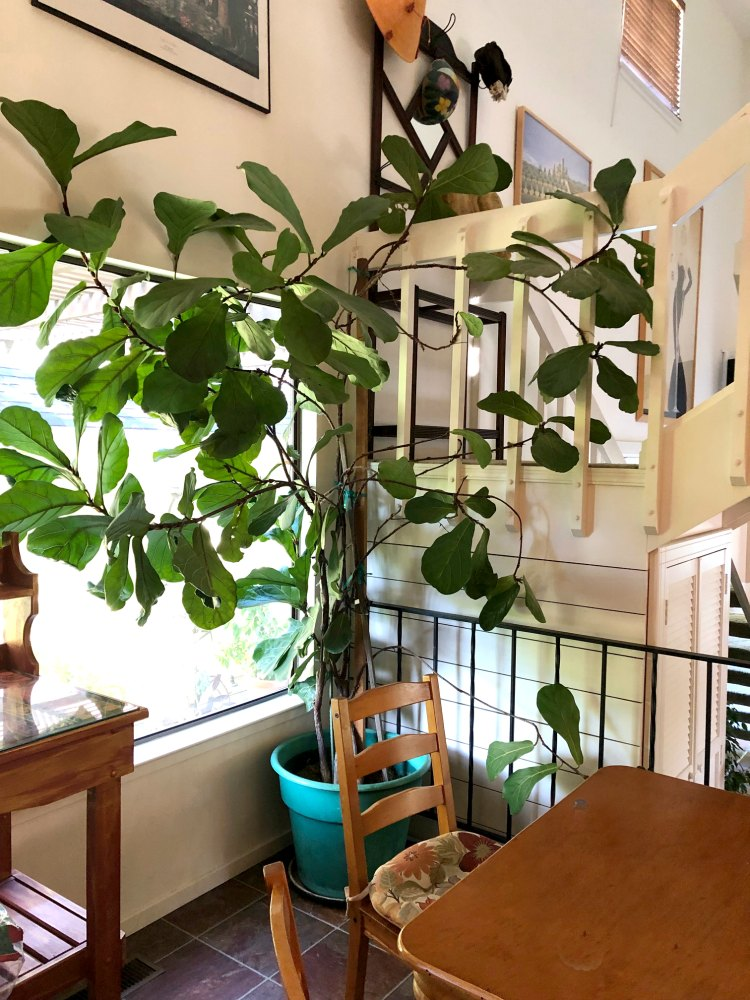 Giant fiddle leaf fig in California