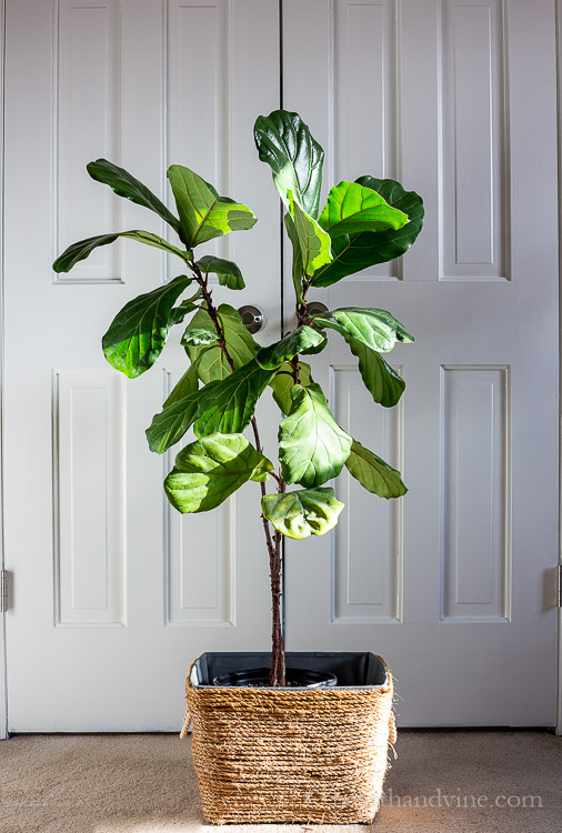 Four foot tall Fiddle Leaf Fig