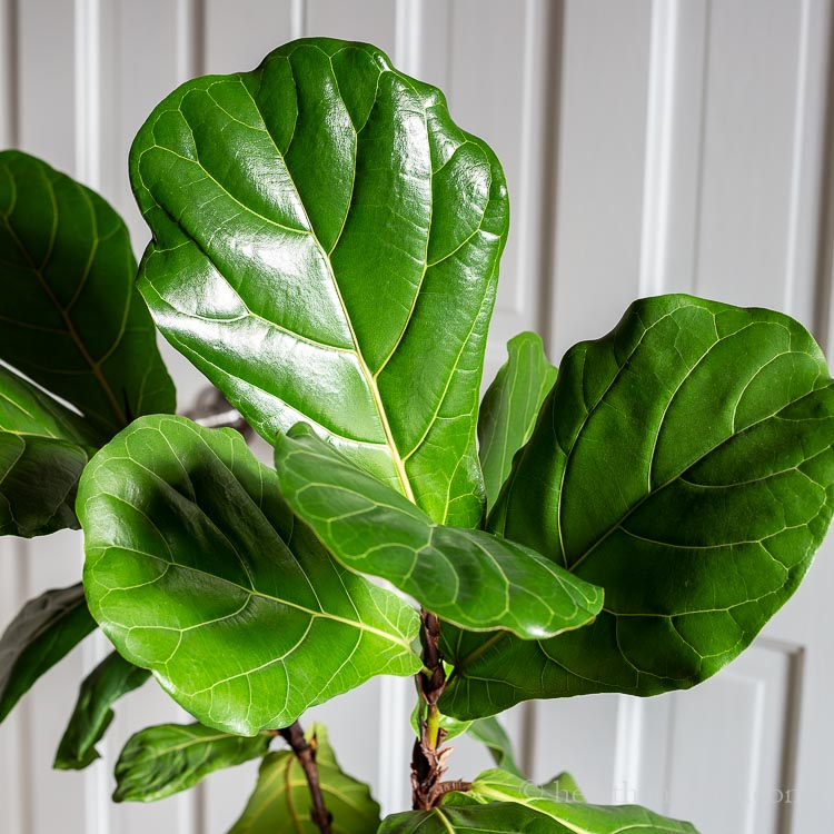 Fiddle leaf fig leaves