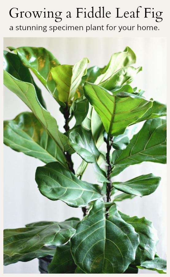 growing a fiddle leaf fig