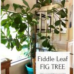 Large fiddle leaf fig tree