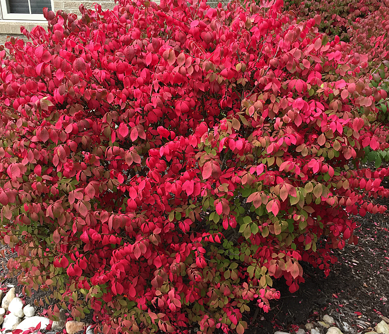Euonymus Alata Burning Bush
