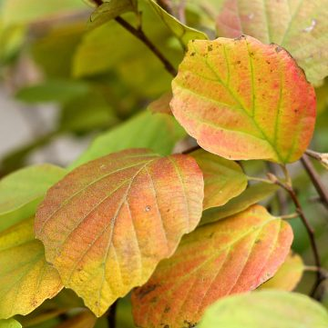 Fothergilla major fall leaves