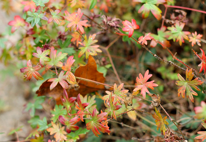 Hardy Geranium leaves fall color