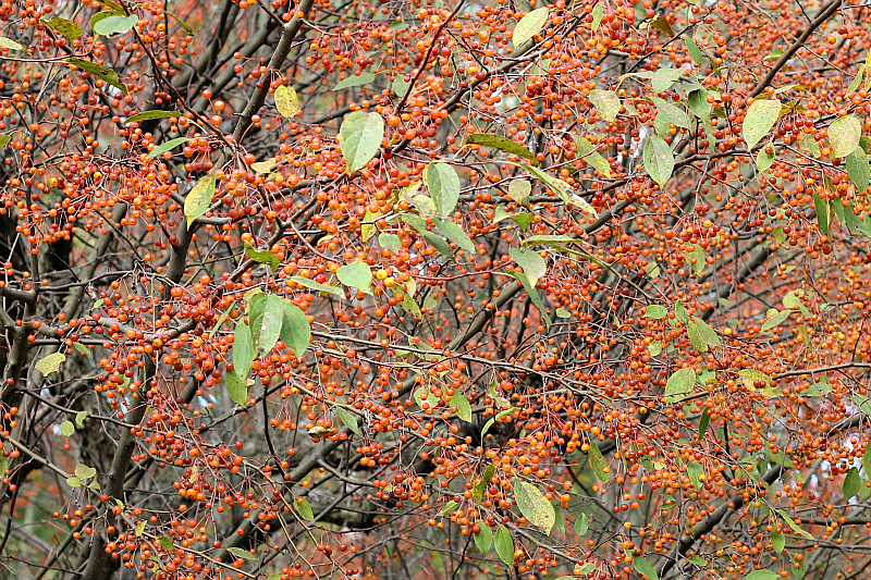 Fall orange crabapple tree