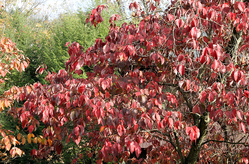 Dogwood tree in fall color