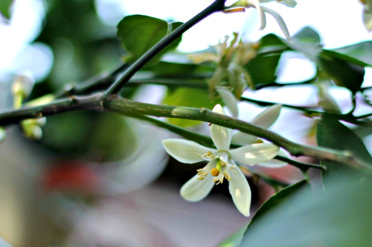 Flowers on dwarf Meyer lemon tree