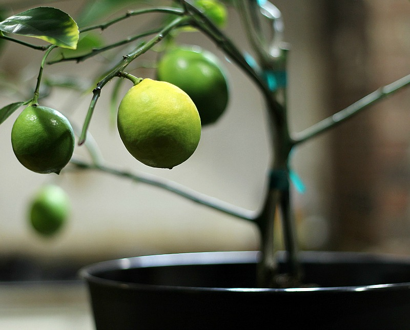 Dwarf Meyer lemon tree lemons